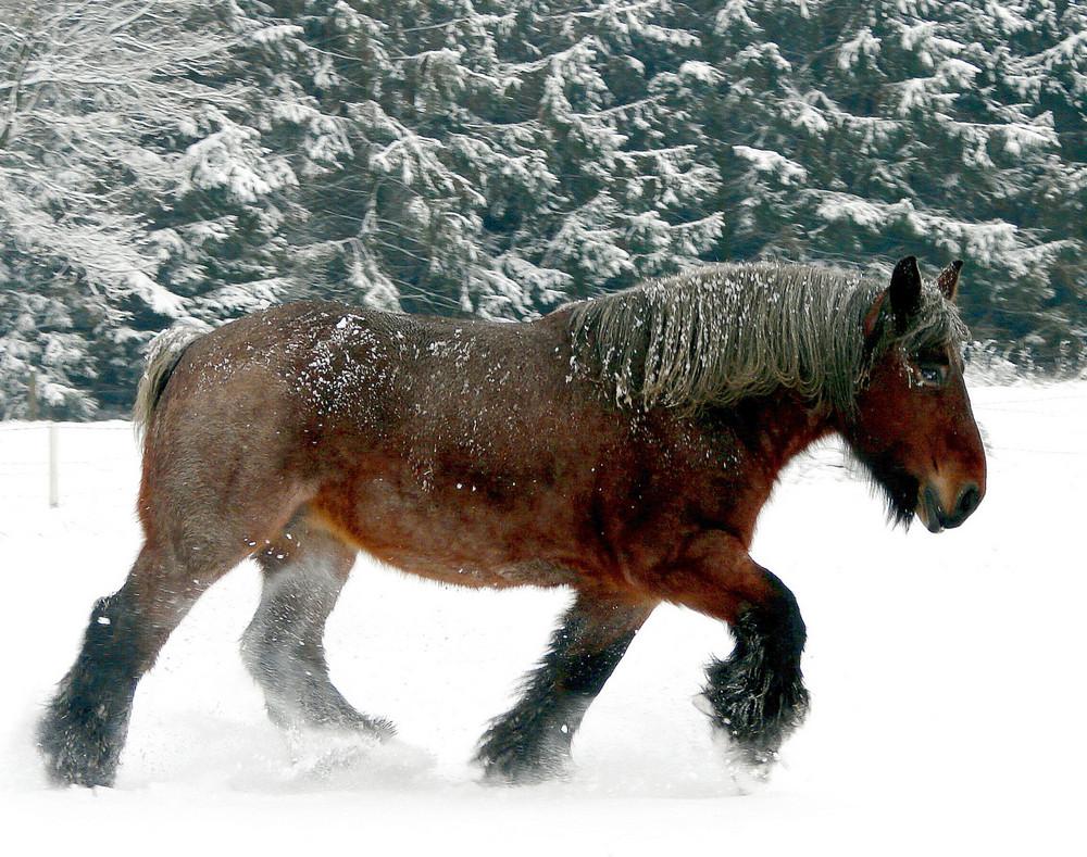 Un bell exemplar de un cavall de tir belga a la neu. http://www.horzer.fr/blog/1-le-groupe-des-passionne-e-s/